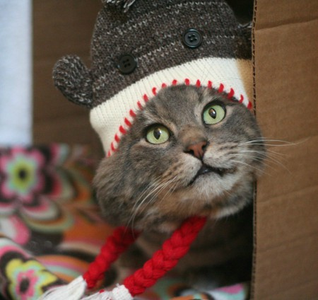 Pretty Boy Mac discovers Christmas sometimes comes with a sock monkey hat - © Colehauscats.com