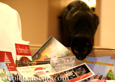 Olivia supervises the cards - © Colehauscats.com