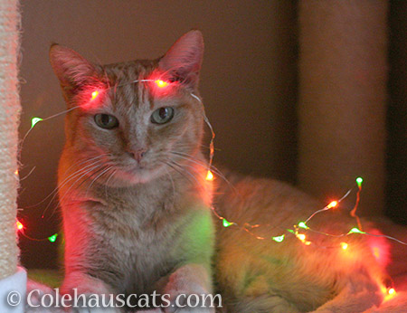Sunny's excited for Christmas. Can't you tell? - © Colehauscats.com