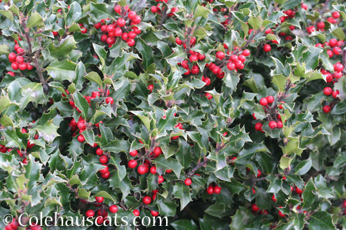 Extra berries on the holly this year - © Colehauscats.com