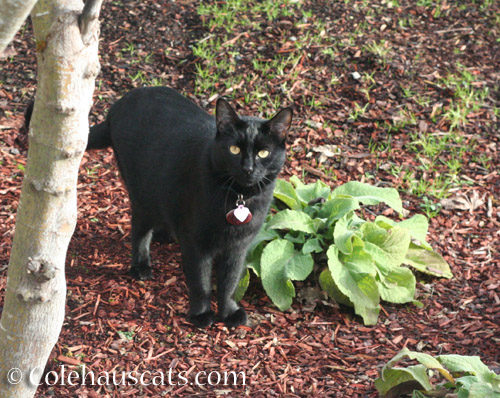 Neighbor cat J - © Colehauscats.com