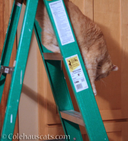 That ladder does NOT need a cat - © Colehauscats.com
