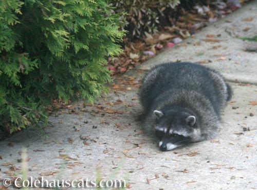 Last raccoon pouting - © Colehauscats.com