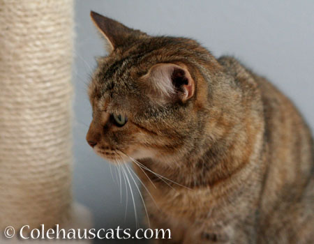 Ruby's cheek stripe - © Colehauscats.com