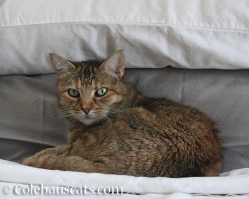 Ruby's morning pillow spot - © Colehauscats.com