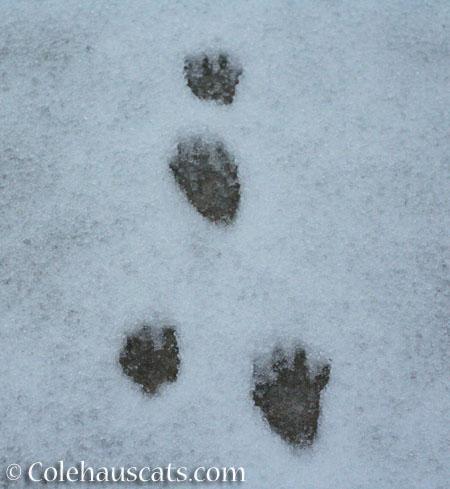 Snowprints - © Colehauscats.com