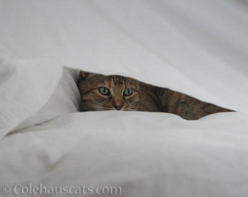 Snuggled Ruby - © Colehauscats.com
