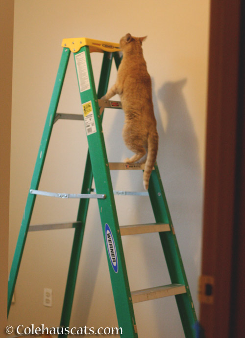 Ladder inspector Sunny - © Colehauscats.com