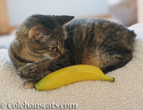 Viola and banana for size - © Colehauscats.com