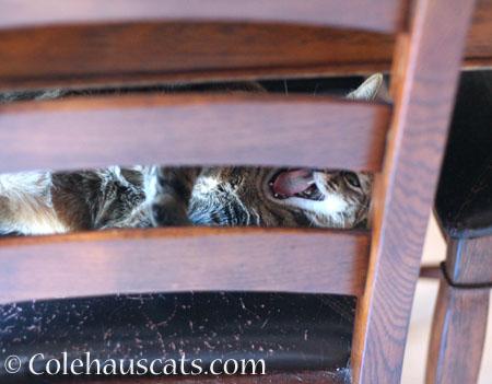 Viola's yawn - © Colehauscats.com