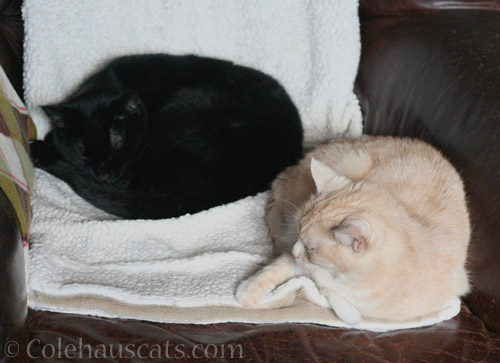 Olivia and Miss Newton sort of snuggle - © Colehauscats.com