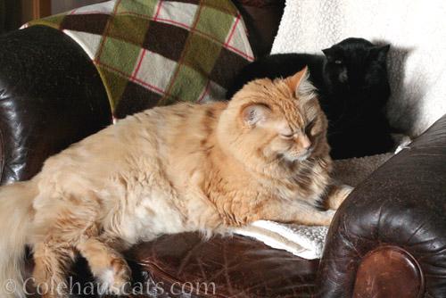 Pia and Olivia kind of snuggle - © Colehauscats.com