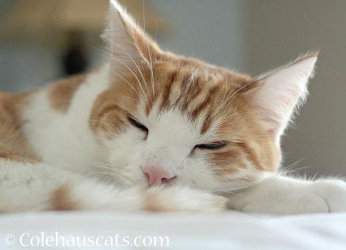 Lovable lug Quint © Colehauscats.com