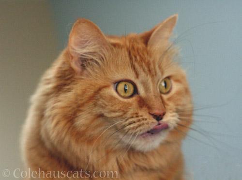 Ginger Princess Pia © Colehauscats.com